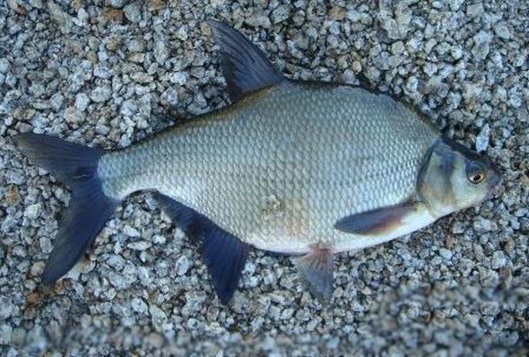 Рыба белый амур свойства, польза и вред костлявость и вкус