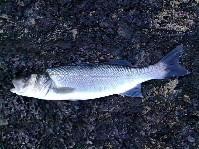 Рыба «Лаврак полосатый» фото и описание