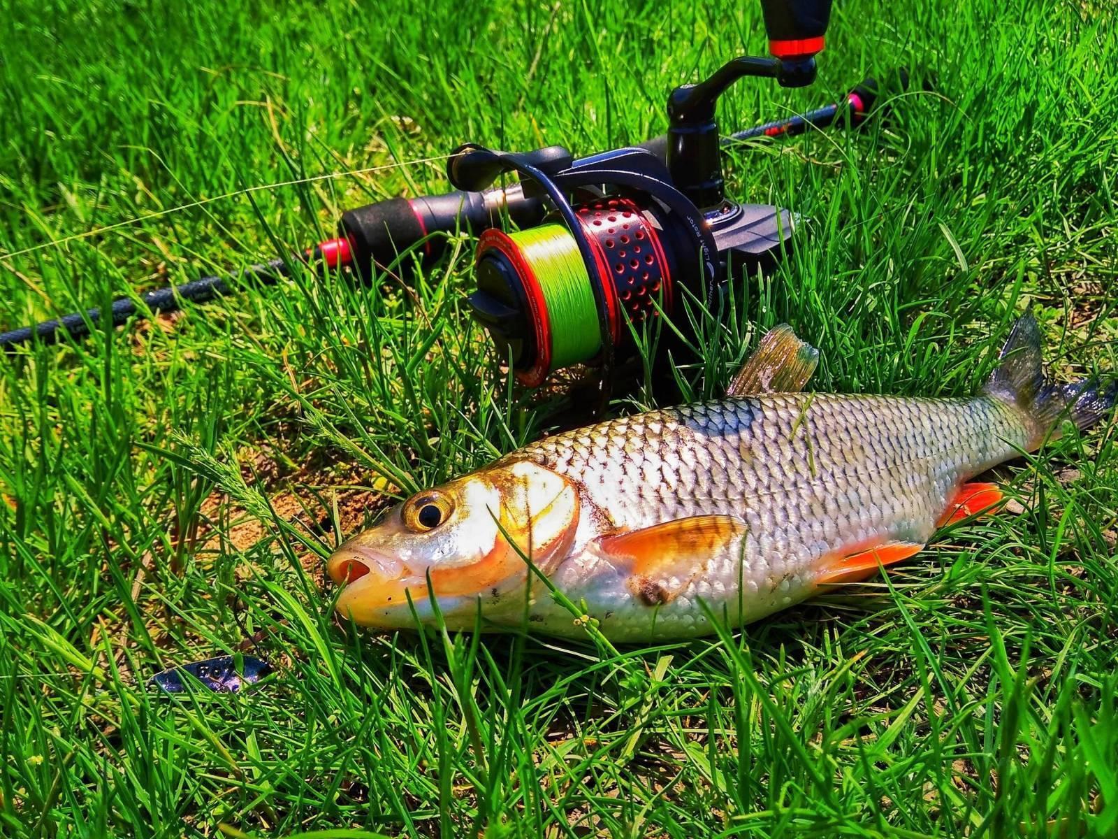Голавль: описание рыбы, места ее обитания, простые советы и рекомендации на что ловить голавля (120 фото)