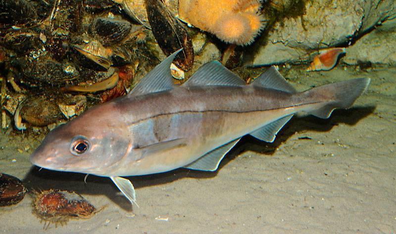 Треска рыба. образ жизни и среда обитания рыбы трески