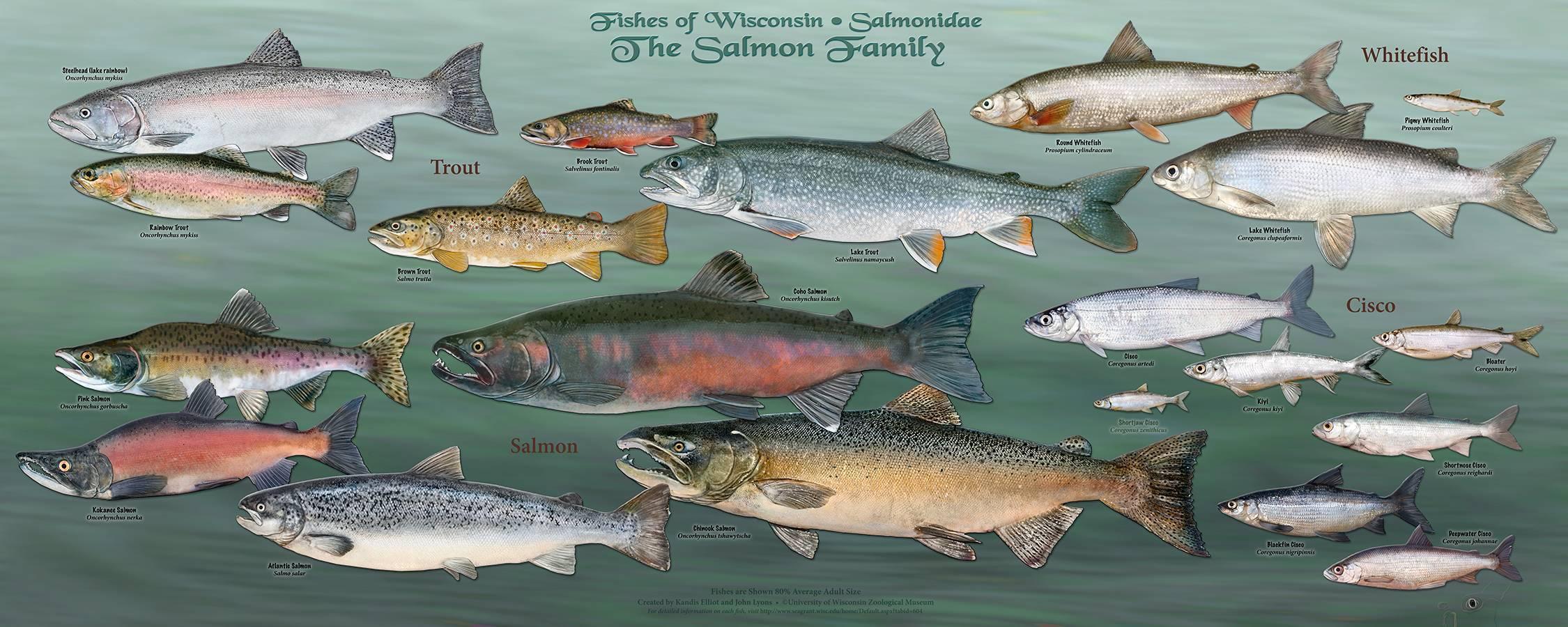 Горбуша: что за рыба, описание, где водится, фото, польза и вред