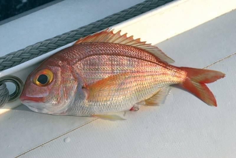 Зубатка - что это за рыба, фото, описание, ареал, рацион, способы ловли