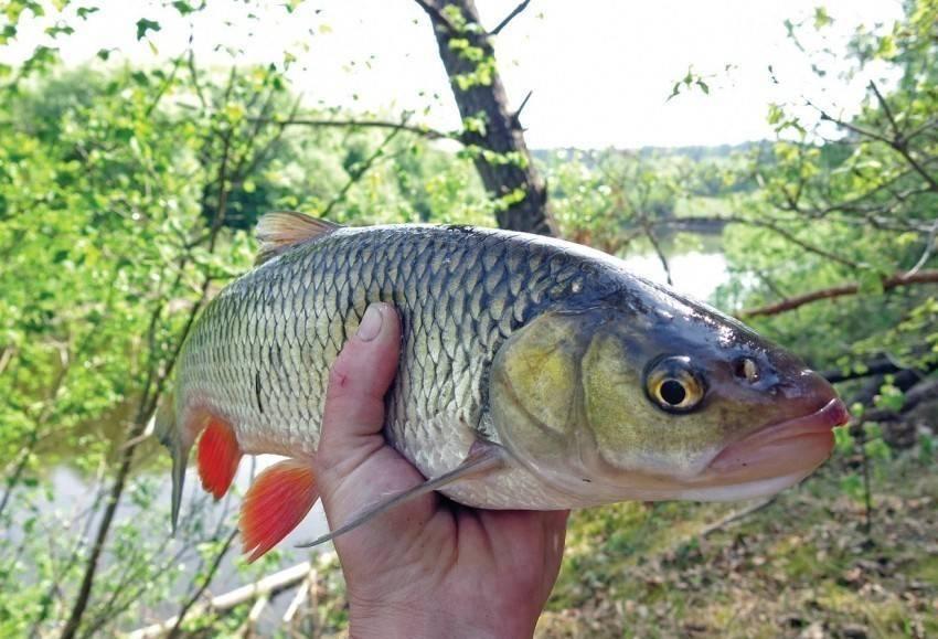 Голавль: описание, ареал, повадки, рыбалка