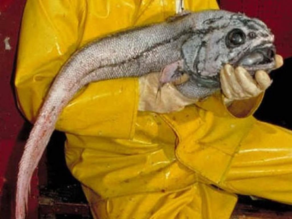 Польза рыбы макрурус: описание, состав и рецепты приготовления