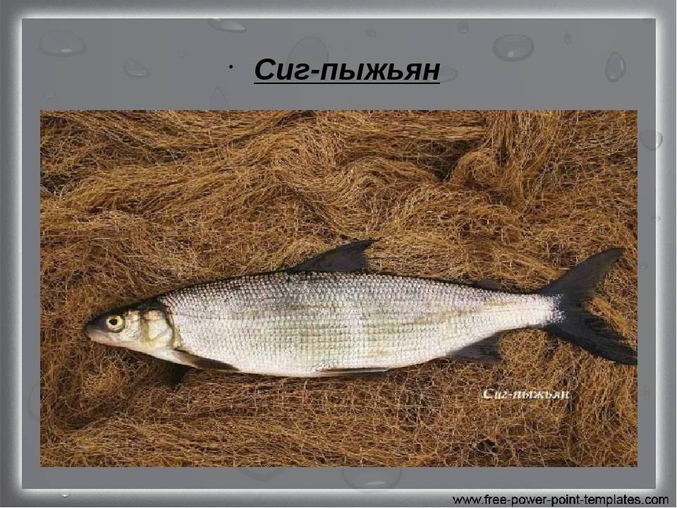 Рыба «Сиг-пыжьян» фото и описание