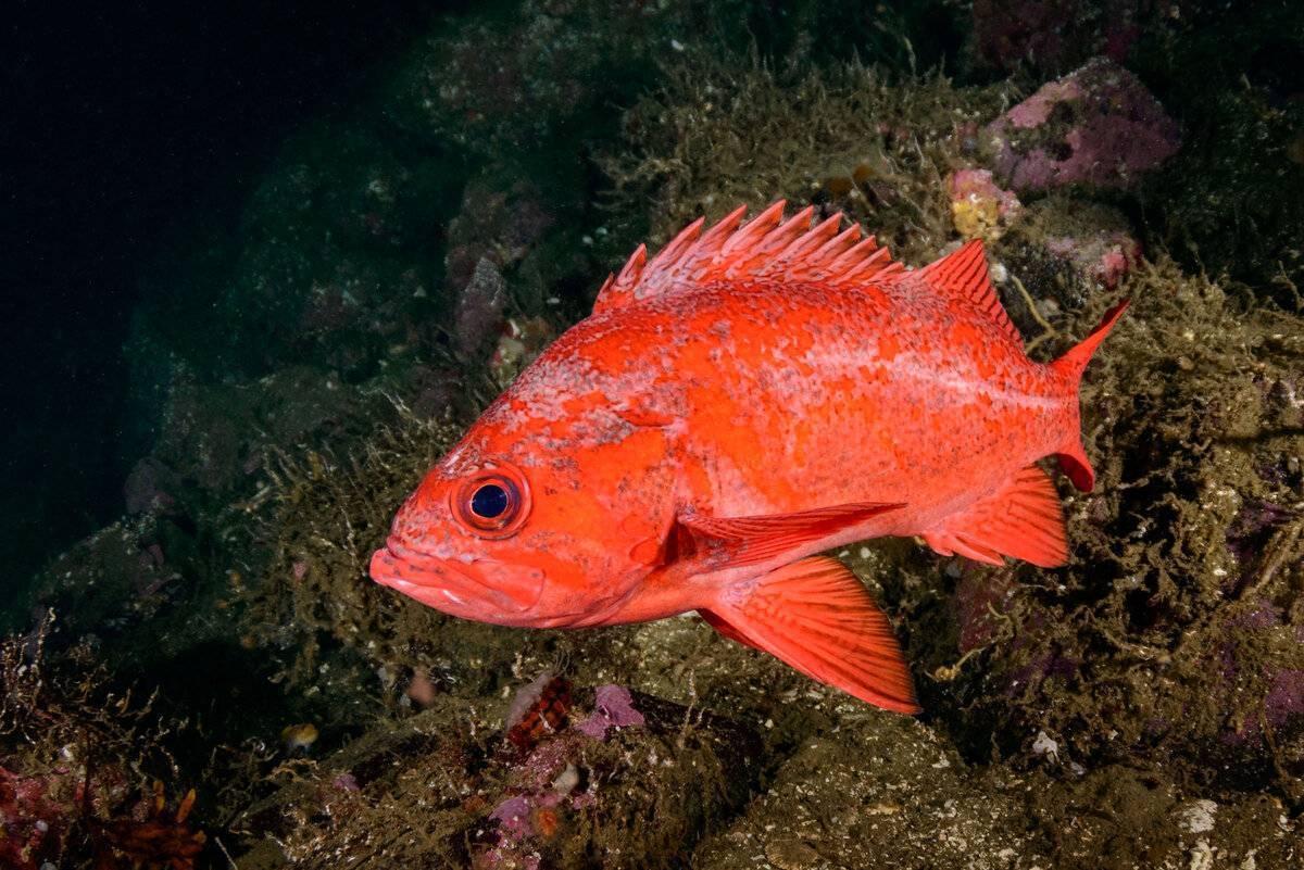 Рыба «Морской окунь красный» фото и описание