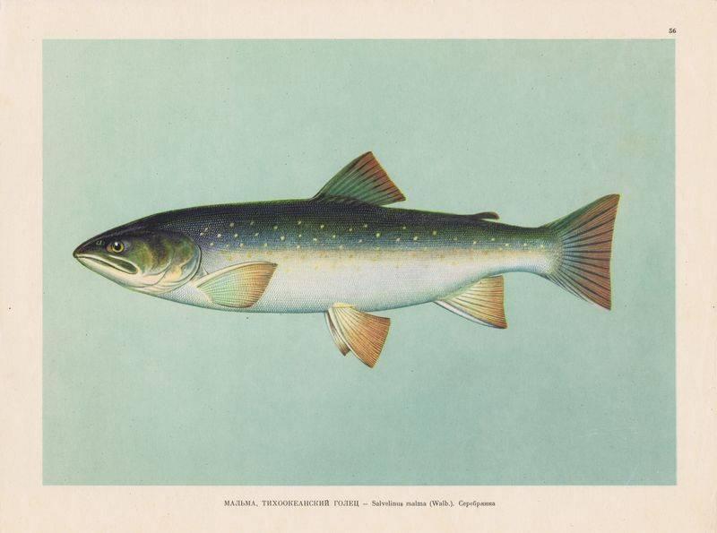 Мольва – рыба для праздников и будней. вкусные рецепты приготовления