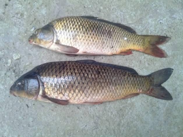 Сазан: польза, вред и калорийность рыбы | food and health