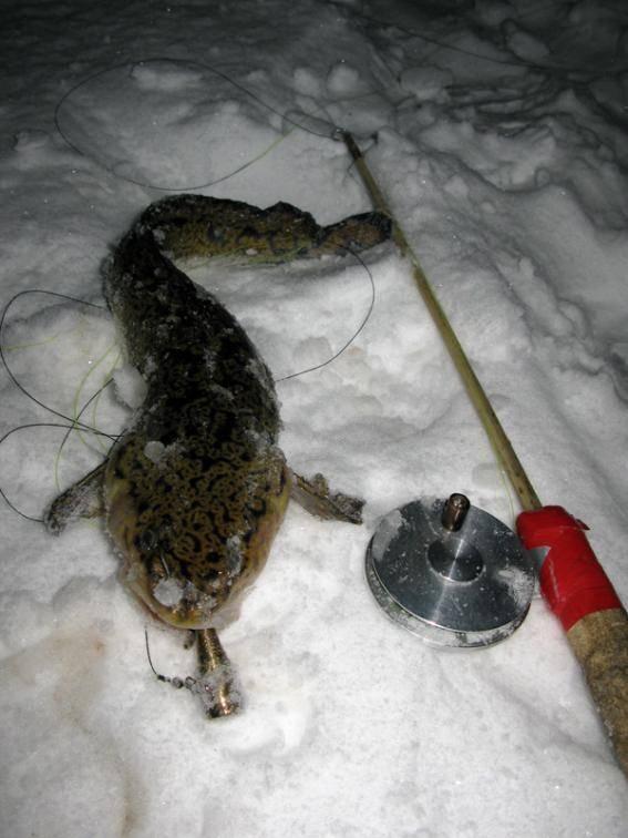 Как ловить зимнего налима на стукалку