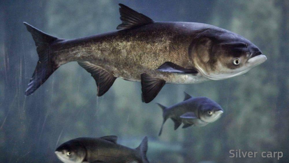Толстолоб — характеристики рыбы, места обитания, ловля и особенности прикормки + 80 фото
