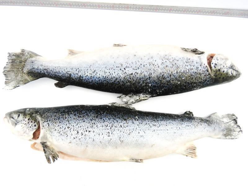 Рыба «Форель мраморная» фото и описание