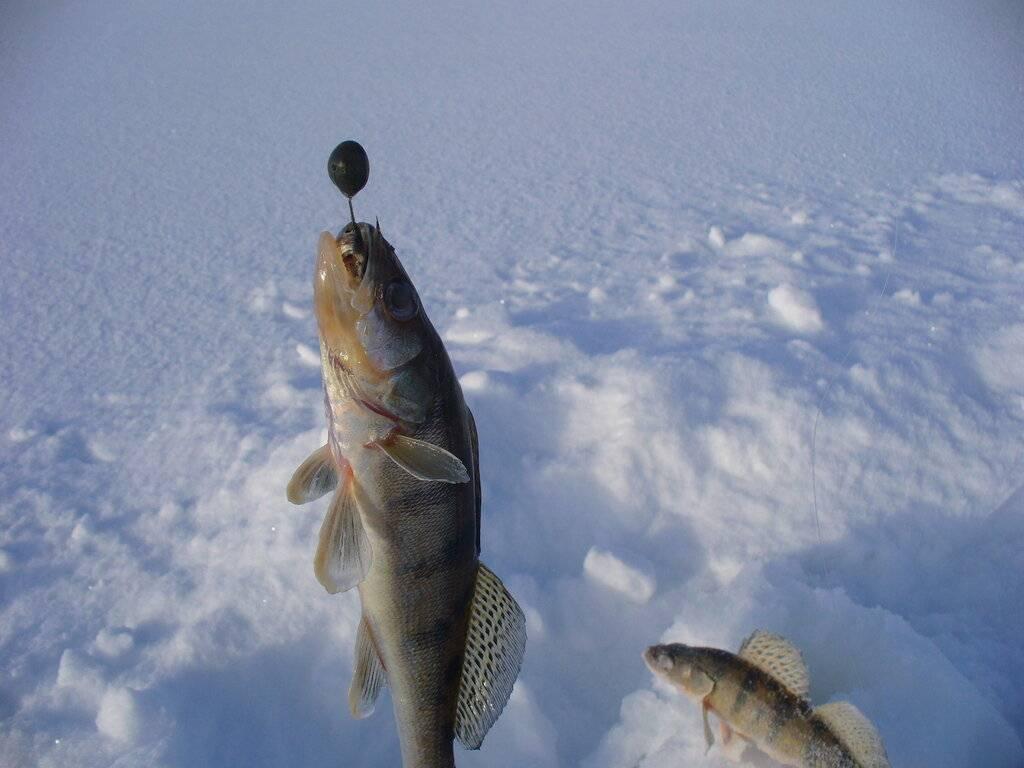Ловля берша зимой - особенности и техника поимки