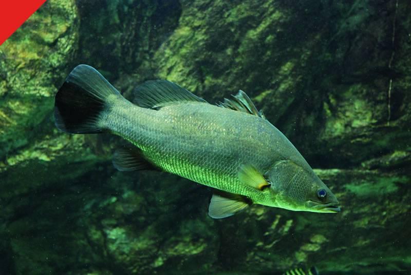 Рыба «Окунь нильский» фото и описание