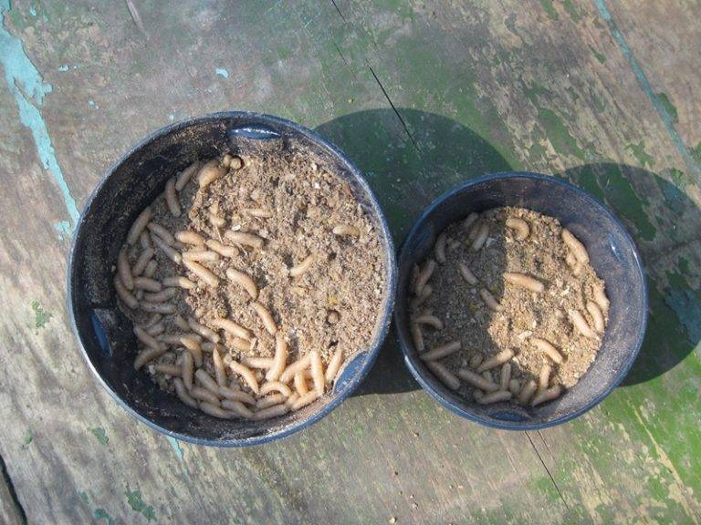 Как выращивать опарышей в домашних условиях?