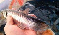 Как солят рыбу на крайнем севере: простой и вкусный рецепт