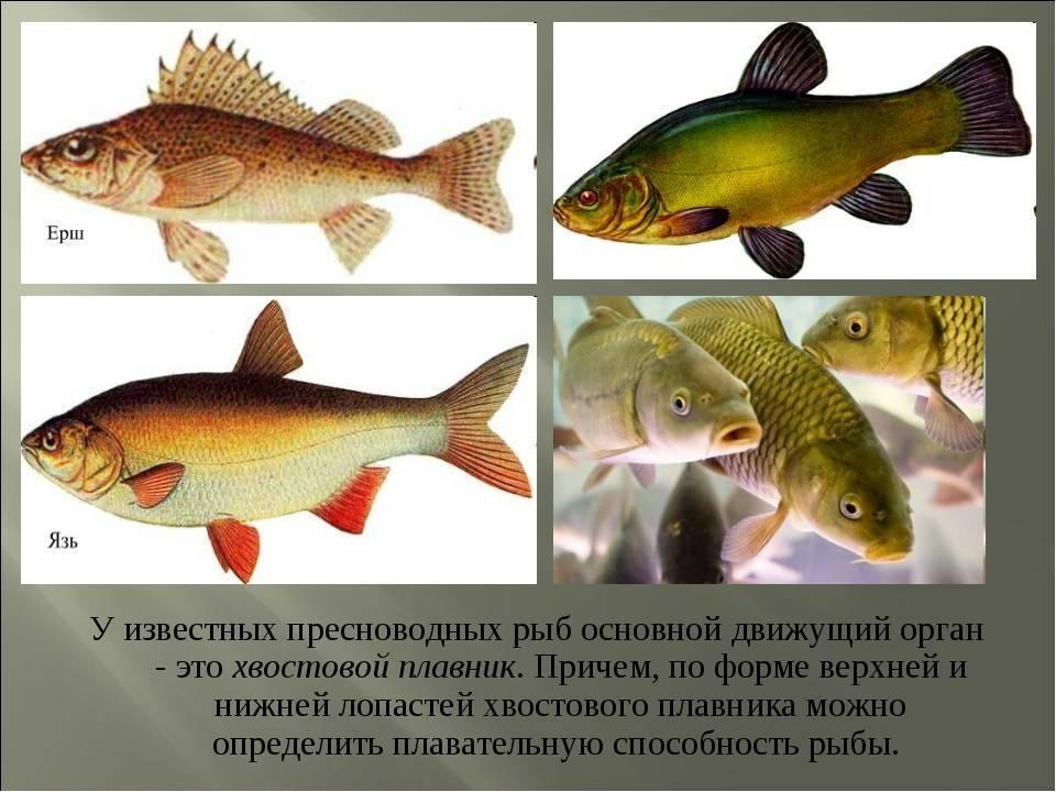 Диагностика болезней рыб. болезни аквариумных рыб. болезни аквариумных рыбок. болезни рыбок. болезни рыб. аквариумные рыбки и их болезни.