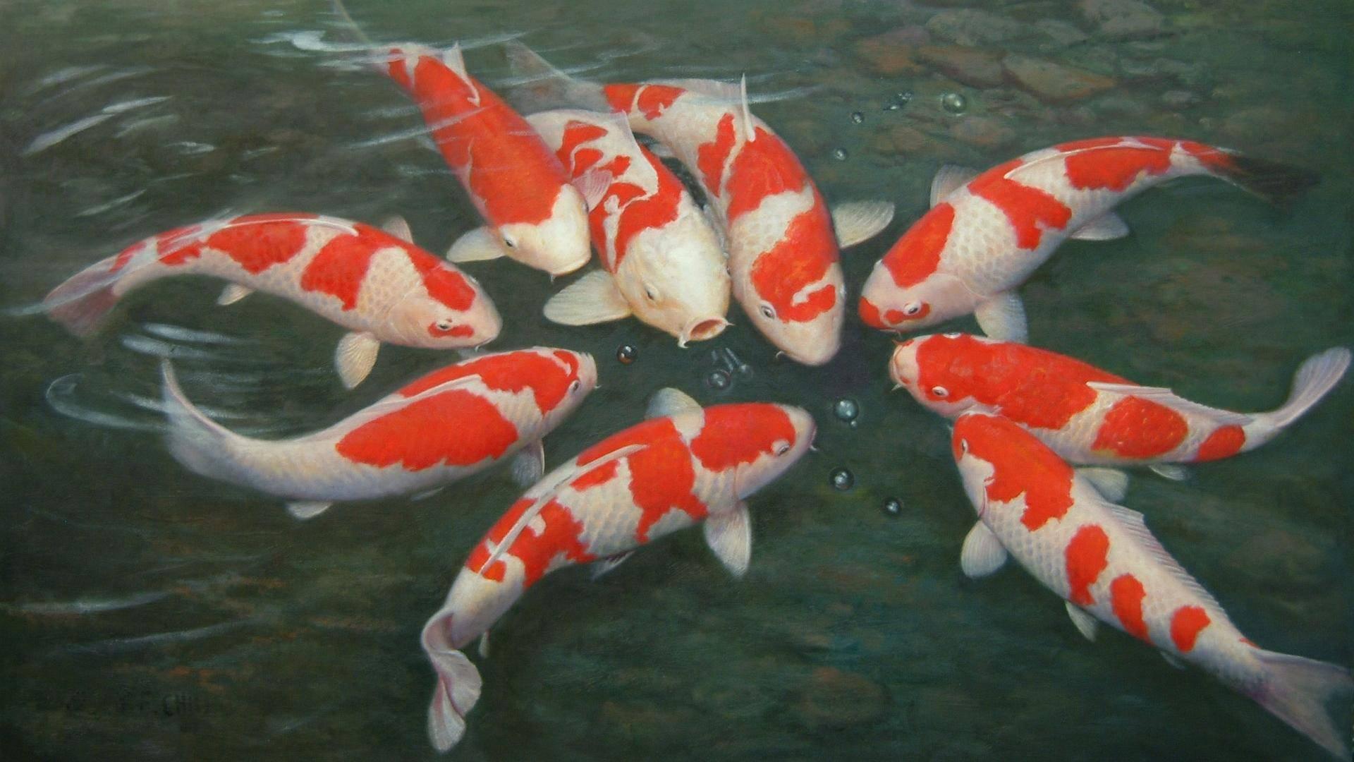 Особенности содержания и разведения карпов кои в аквариуме
