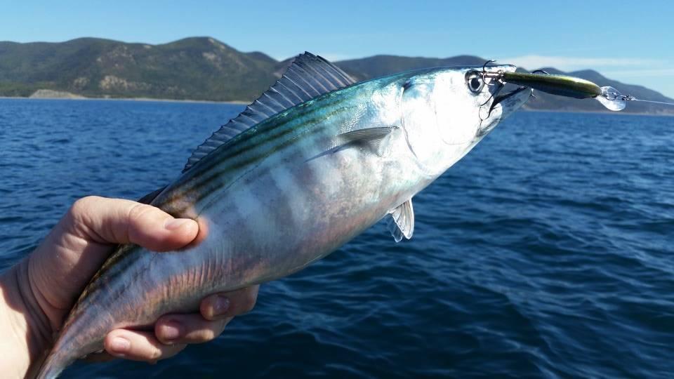 Рыба «Пеламида» фото и описание