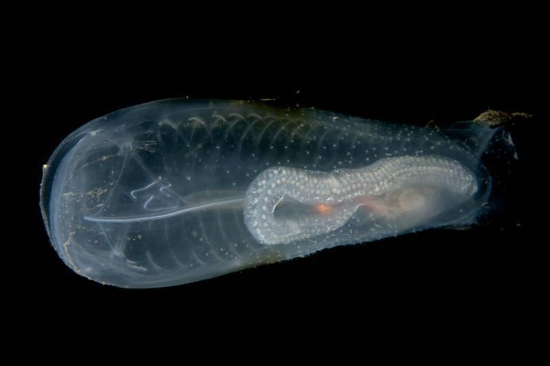 Прозрачная рыба: фото и описание. салпа маджоре - прозрачная рыба