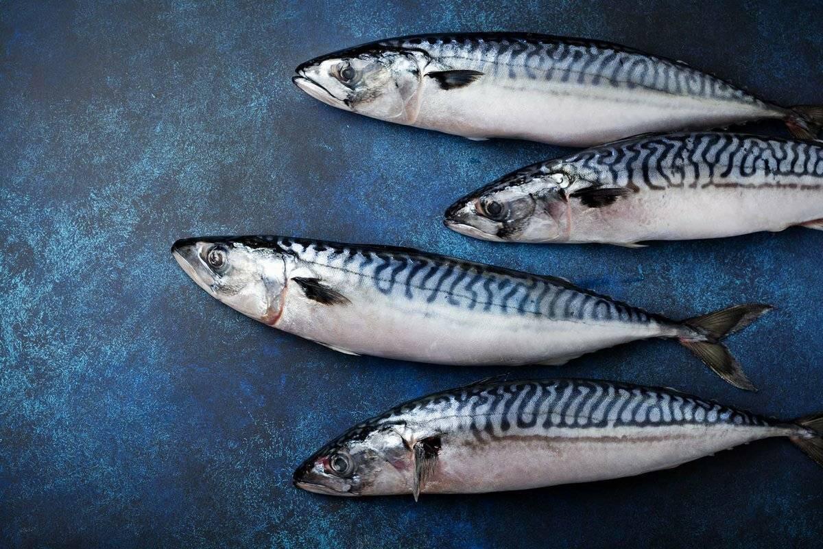 Рыба «Скумбрия» фото и описание