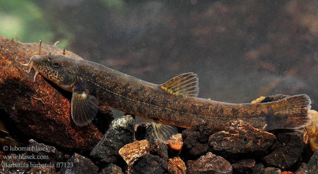 Рыба голец: польза, вред, где водится, состав, калорийность, противопоказания