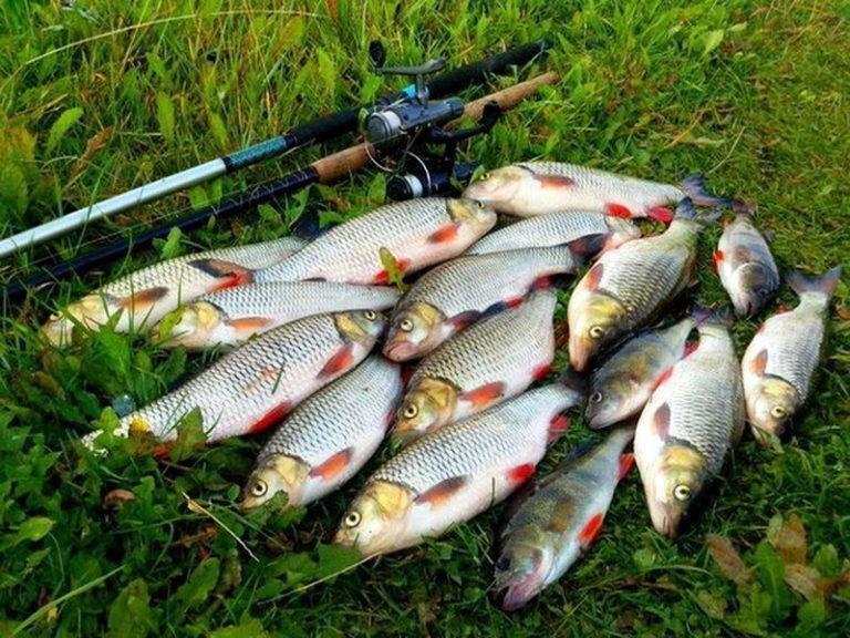 Четыре способа ловли по открытой воде, рыба елец: описание и фото трофея