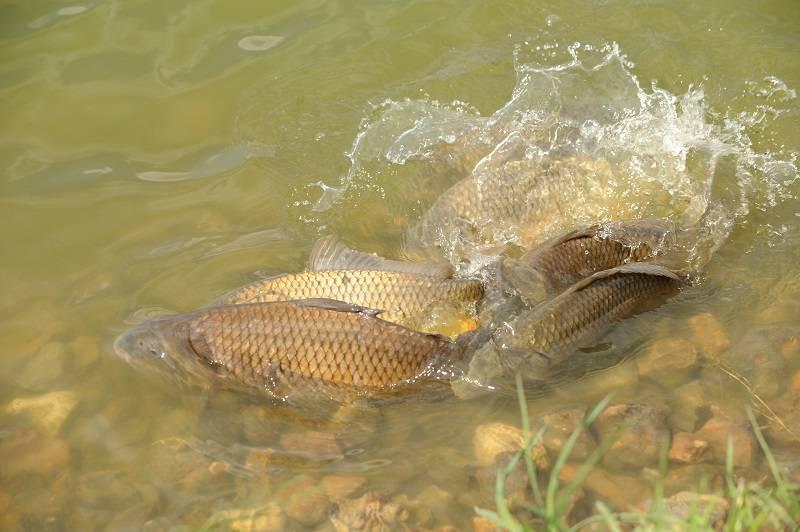 Нерест карпа и его влияние на клёв рыбы