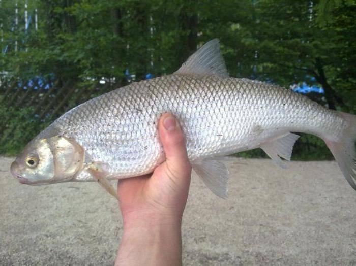 Рыба вырезуб: описание и особенности ловли