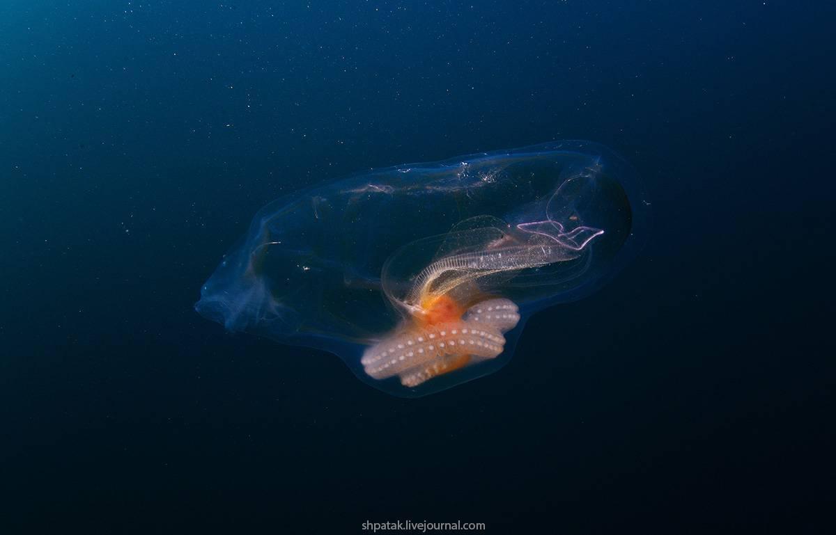 Прозрачная сальпа – не рыба, а животное, упрощающееся в процессе развития