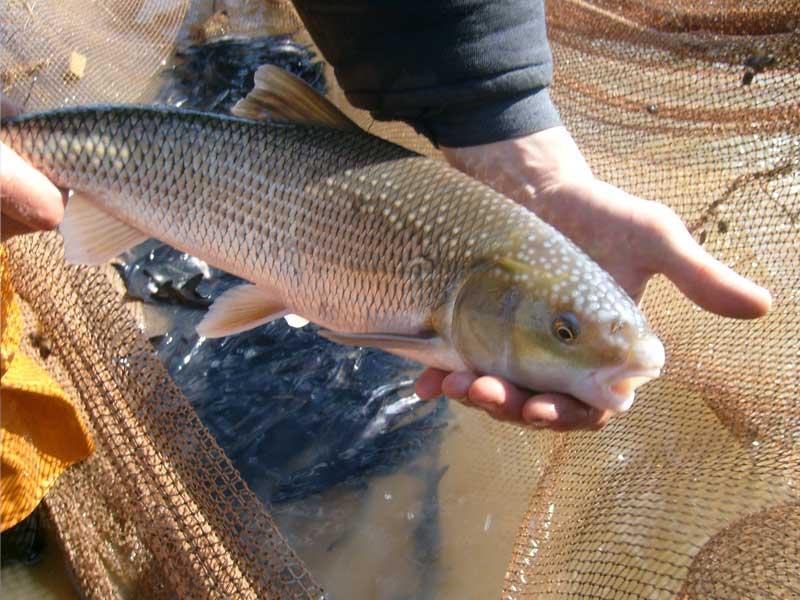 Где водится рыба тилапия, чем питается и как живёт