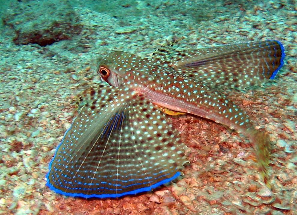 Что за рыба морской петух – описание, рецепты, вред и польза