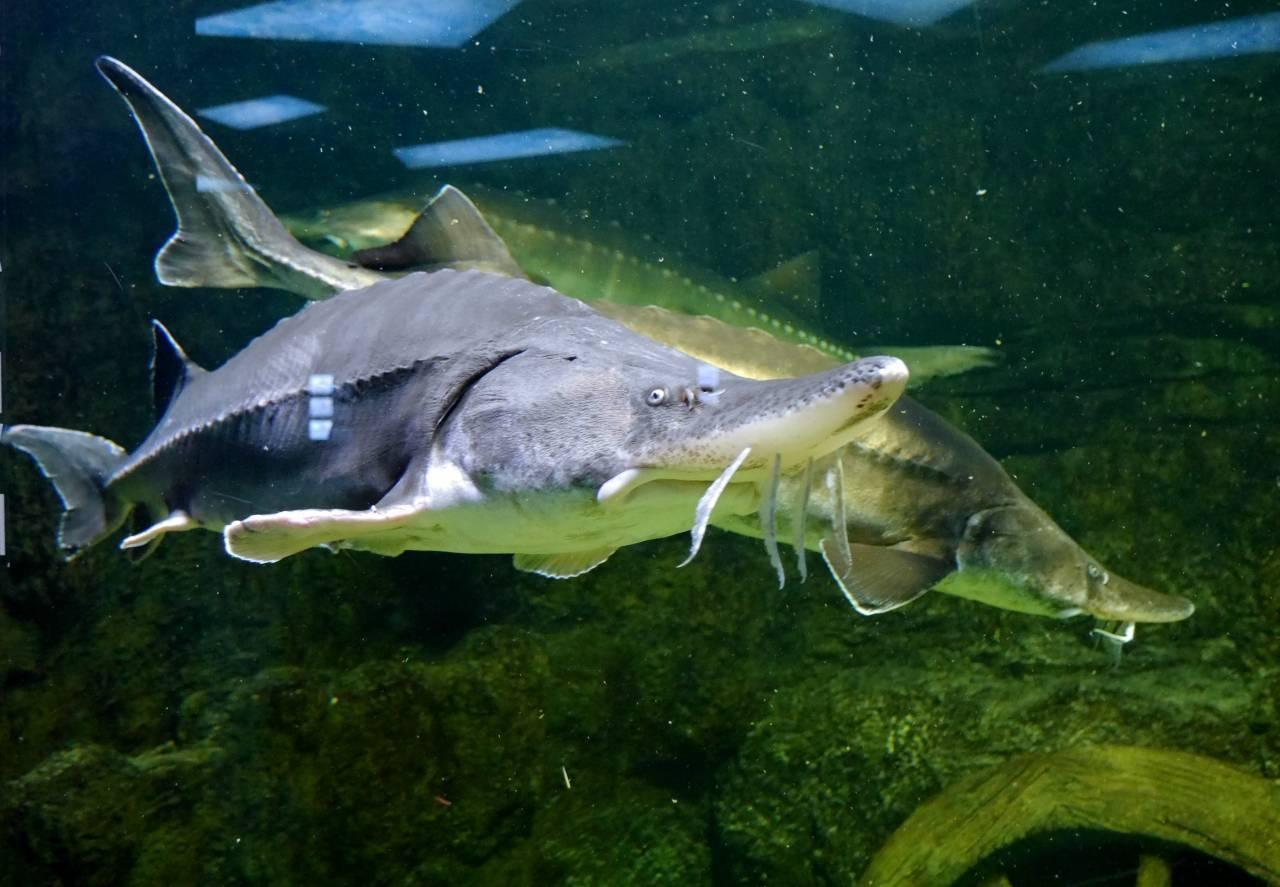 Рыба калуга амурская: описание осетровой породы, особенности питания и места обитания