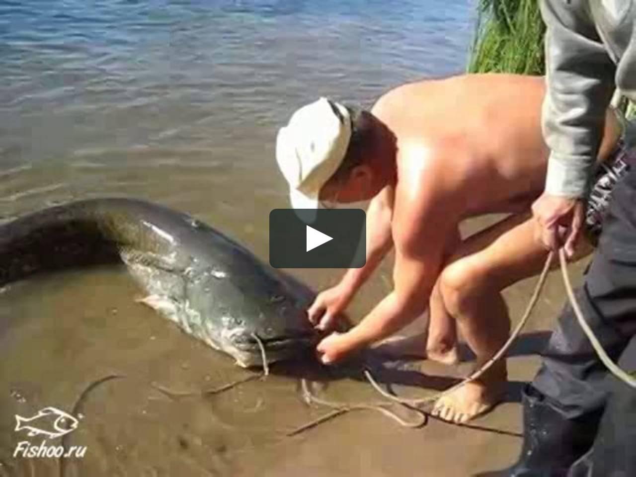 Рыба сом — фото и описание