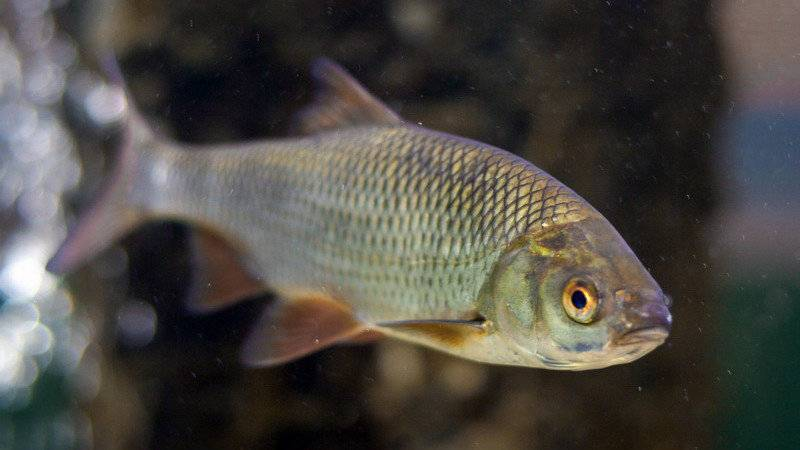 Плотва: описание,нерест,образ жизни,питание,фото.   аквариумные рыбки