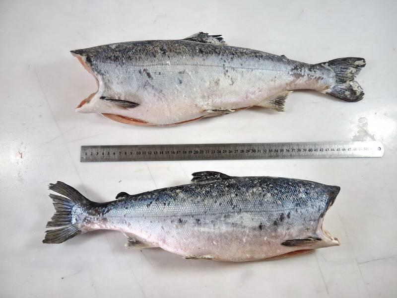Рыба кижуч описание и фото |  где водится и сколько стоит