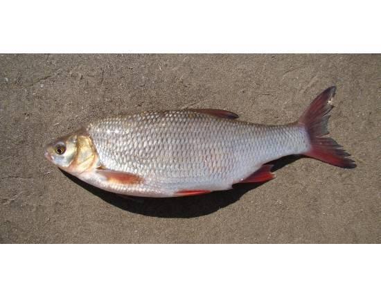 Рыба язь полезные свойства