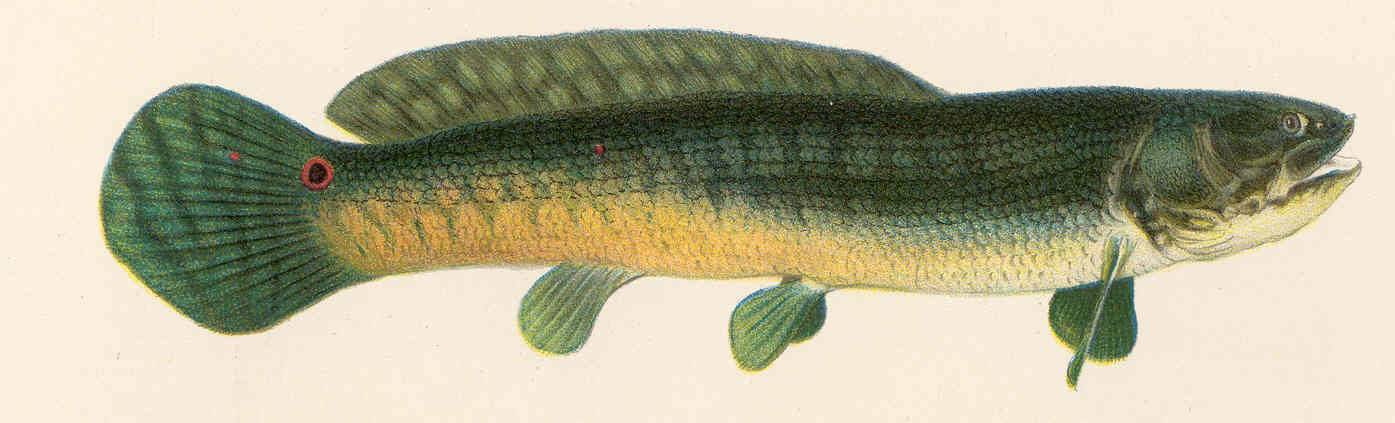 Ильная рыба, амия или боуфин