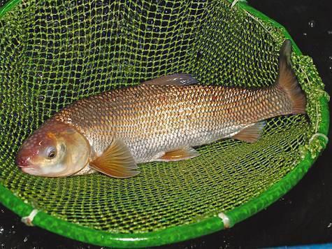 Рогозуб: описание двоякодышащих рыб и особенности их жизни