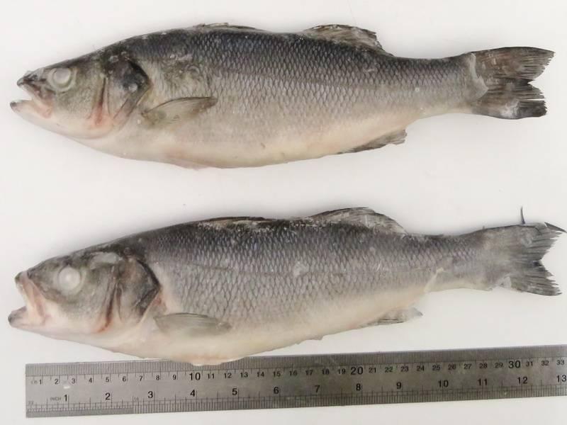 Рыба мохтик: ареал, внешний вид, размножение