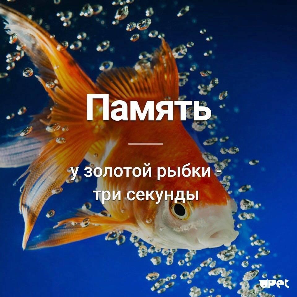 Рыбка у которой память 3 секунды название. есть ли память у рыб