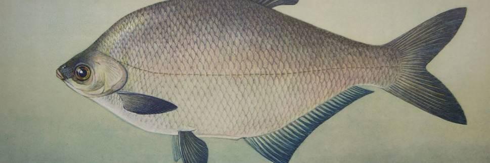Рыба белый амур. польза и вред. фото