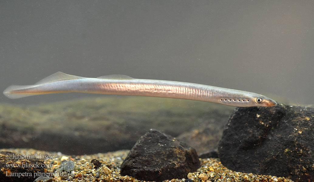 Речная минога – хищная рыба без челюсти — описание с фото и видео, как выглядит, опасны ли миноги для человека.