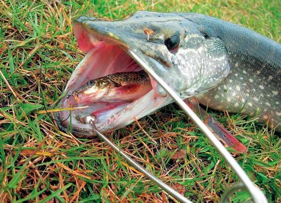 Щука в октябре: где находить, как и на что ловить. ловим щуку сначала, середине и конце октября на спиннинг, на живца - vobler club - клуб любителей рыбалки