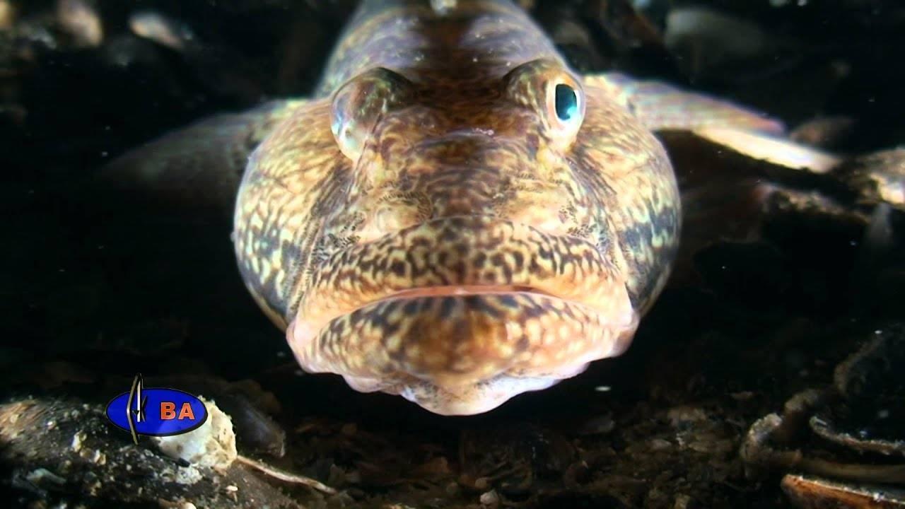Рыбы бычки,описание - блог рыбака