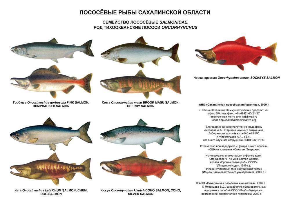Дальневосточный лосось: что это такое, внешние признаки и разновидности рыб, где лососевые водятся в россии