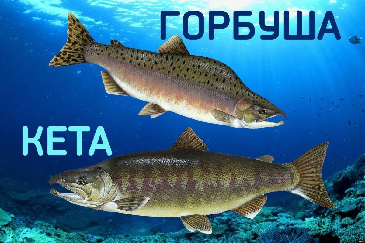 Горбуша: что за рыба, где водится, описание, польза, как приготовить, норма в день, вред