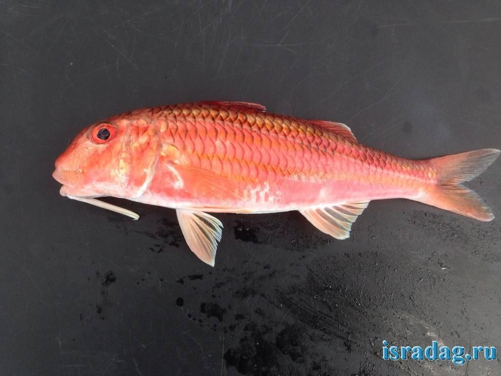 Рыба «Барабуля» фото и описание