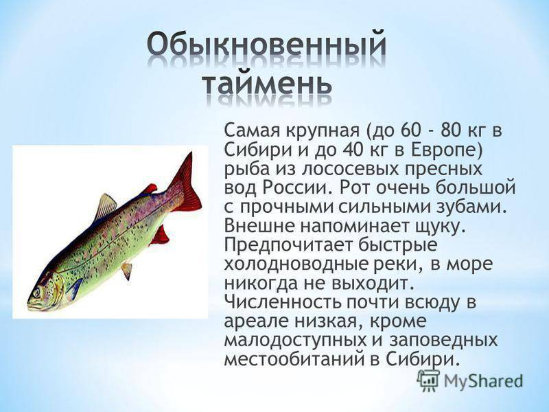 Рыба таймень