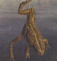 Лягушка — наживка для рыбалки: о ловле на лягушку, способы насаживания на крючок