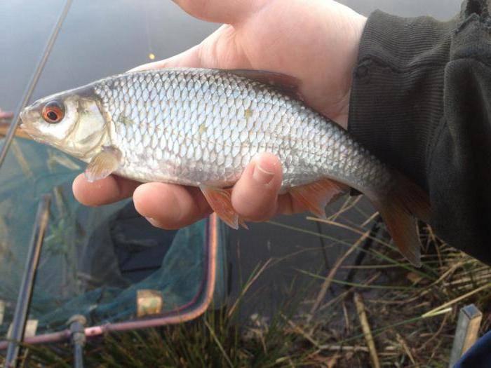 Рыба плотва фото и описание